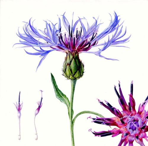 (1) botanical illustration   Tumblr