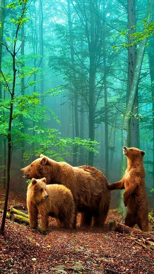 Brown Bears ~ in the forest