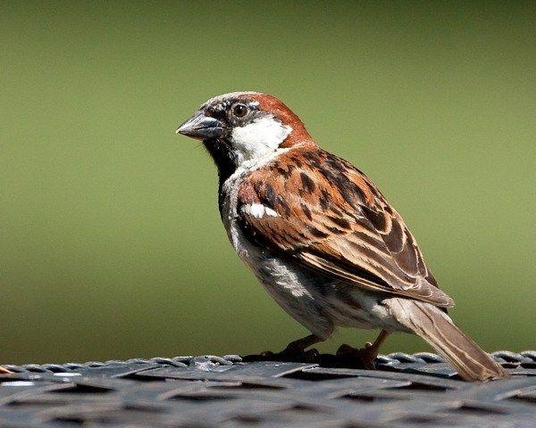Marvelous House Sparrow Einheimische V gelGartenTiereHaussperlingV gel