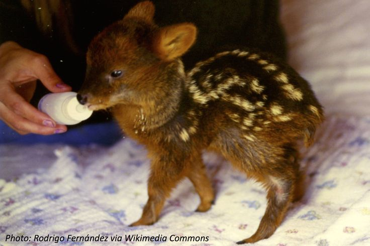 This baby pudu is almost too cute to be true! Check out the world's smallest deer in this fun math story.