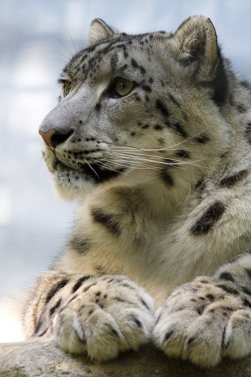 Snow Leopard. Those paws are amazing