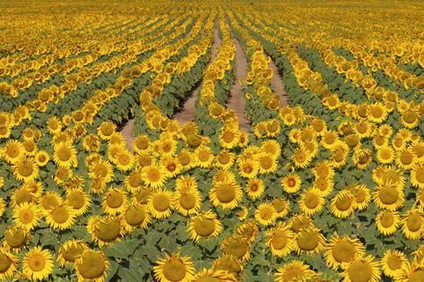 Sunflower (Helianthus Annuus), Kansas, USA Photographic Print