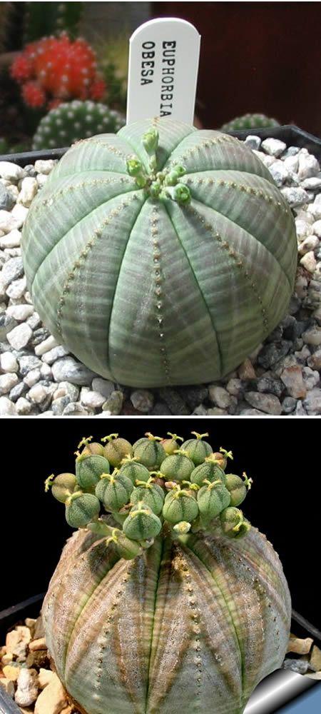 """Euphorbia obese  Esta planta """"gorducha"""" é originária da região do sul da África e é protegida por legislações nacionais e internacionais. Ela corre risco de extinção em seu habitat natural, mas cresce com facilidade em cultivos comerciais."""