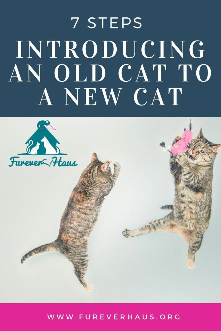 Introducing An Old Cat To A New Cat Patience Is Key To Success Old Cats Introducing A New Cat Cat Training
