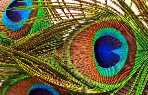 Oslnivě krásné pávy lze chovat i na zahradě - Ptáci
