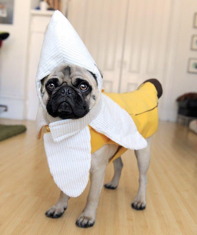 100 Genius Pet Costumes for Halloween via Brit + Co #Pug