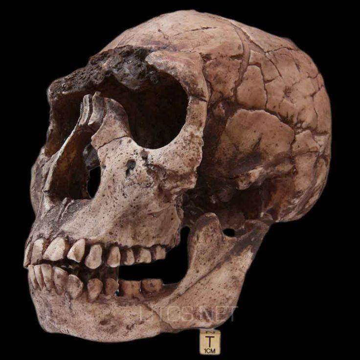 Cráneo del Homo habilis.
