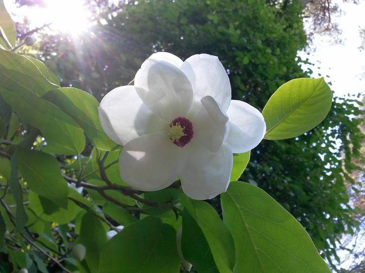 Magnolia sieboldii in Mustila arboretum, Finland spring  2014. #Pensasmagnolia #Buskmagnolia #mustila #arboretum