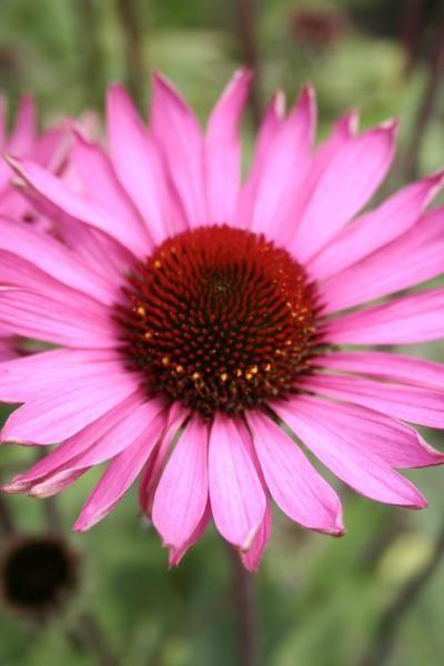 Vanlig solhatt, Echinacea purpurea - Garden Living