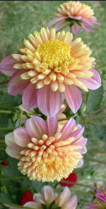 Dahlia 'Honey' - I like this unusual, soft-coloured dahlia http://www.shop.embiotechsolutions.co.uk/GrowBest-EM-Seaweed-Fertilizer-Rock-Dust-Worm-Casts-3kg-GrowBest3Kg.htm