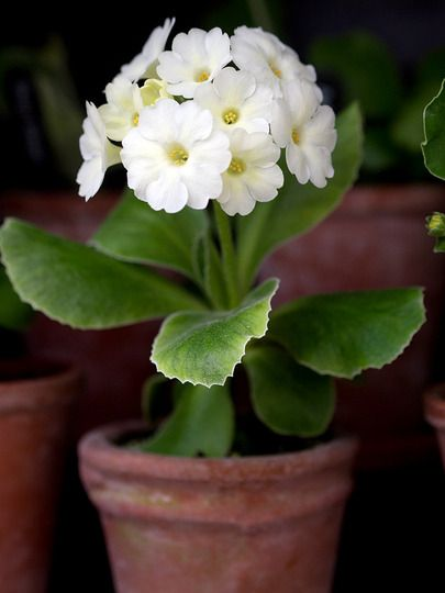 04-22-2016 white Primula auricula 'Bellamy's Pride' in terra cotta pot.