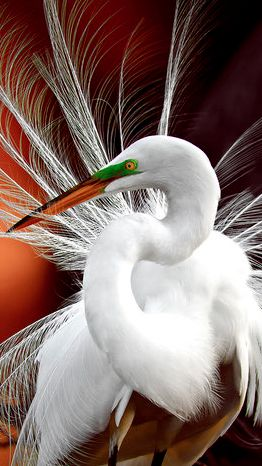 Egret at the Wakodahatchee Wetlands of Delray Beach, Florida • photo: Gretchen Kaplan on National Geographic