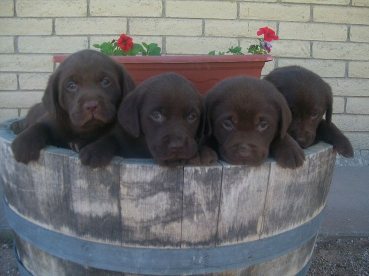 Labrador bambini ~ 13 best chocolate labs images on pinterest chocolate labs