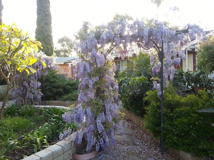 69 Garden Plants Perth Wa Images Pinterest Wisteria Purple Growing