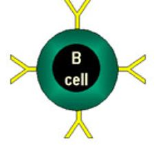 A comparison of B cell and T cell, the fighter cells in the immune system. Simple side by side explanation