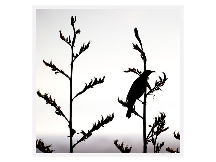 silhouette nz flax - Google Search