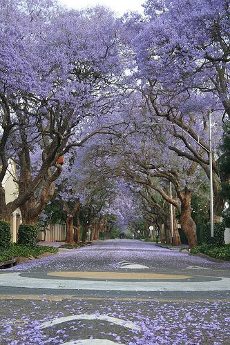 Jacaranda trees in bloom .Johannesburg, South Africa..... A bucket list trip.