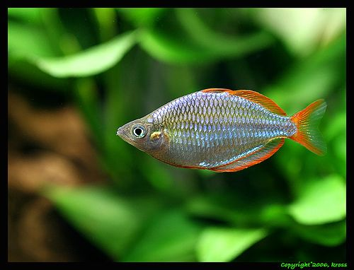 17 best images about rainbow fish on pinterest lakes 55 for Dwarf rainbow fish