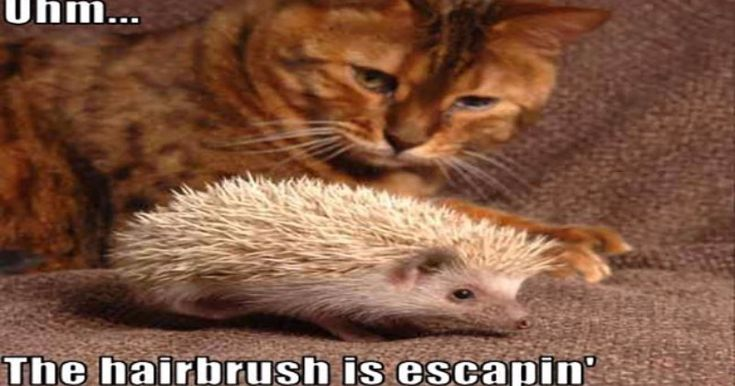 15 Perfect #Hedgehog #Memes To Make You Laugh Through The Weekend http://ibeebz.com