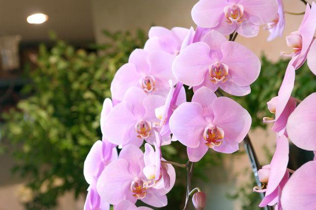 胡蝶蘭 清純、純粋 あなたを愛してます