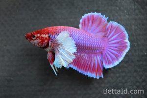 Ikan Cupang Big Ear Lavender BE9, warna dominan ungu lavender, kondisi ikan sehat, sirip ikan balance, sisik mengkilap, body proporsional, dan bermental berani. #ikan #cupang #bigear #ikancupang #bettafish