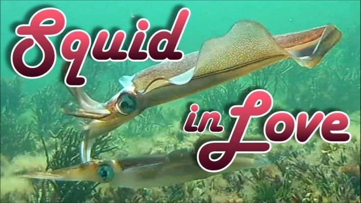 Squid in Love: Rarely seen Footage of Ritual Courtship and Mating