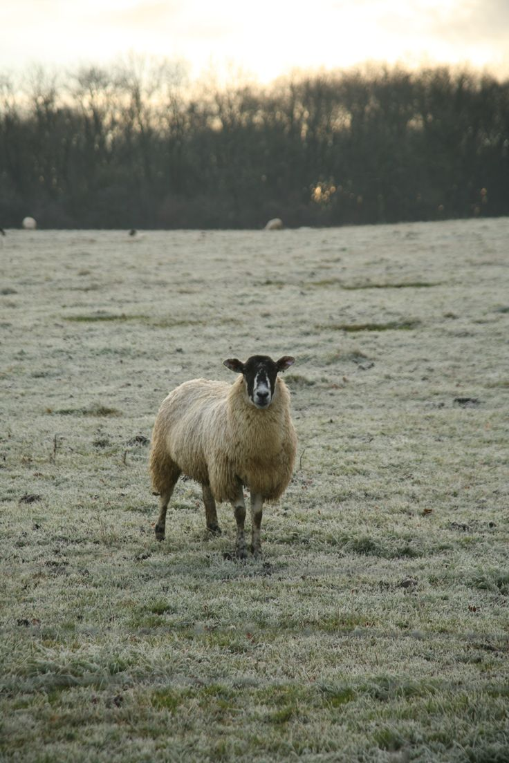Organic sheep at Daylesford farm