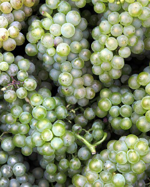 Die Rebsorte Chardonnay ist eine der sechs zugelassenen Rebsorten in der Champagne. Mit ca 27-28% der Anbaufläche steht ist sie hinter dem Spätburgunder (ca. 38%) und dem Schwarzriesling (ca. 33%) an dritter Stelle.