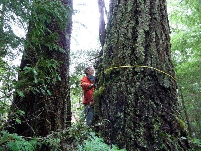 I vecchi alberi crescono più velocemente di quelli giovani e catturano più CO2