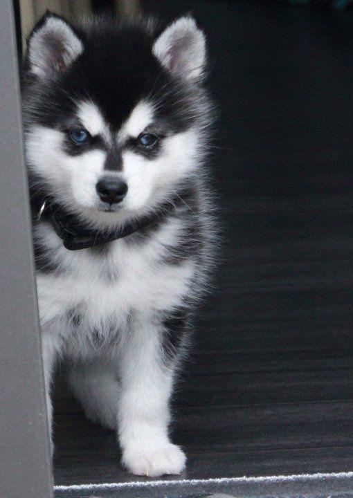 Husky puppy que cosa mas hermosa!!
