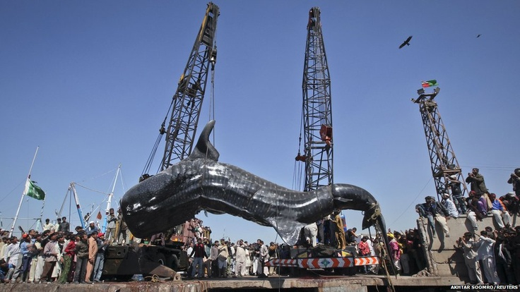 Crowds gathered at Karachi's fish harbour to see a dead whale shark pulled from the water by cranes after it was found in the Pakistani port.