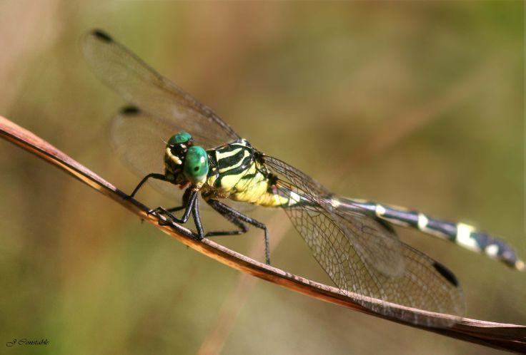 Amphiclictus Dragonfly by J Constable