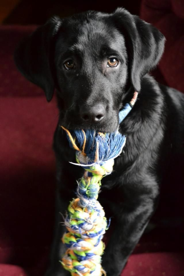 Gorgeous black labrador retriever puppy. | Dog | Pet Photography | Dogs | Lab THIS IS MY DOGGY, HE HAS A TOY JUST LIkE THIS TOO !!!! LOVE HIM AND HIS SILLY WAYS