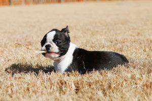 Winnie the Boston Terrier Puppy   – ❤️Bostons