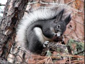 kaibab squirrel pictures | squirrel and cousin to the grand canyon south rim s kaibab squirrel