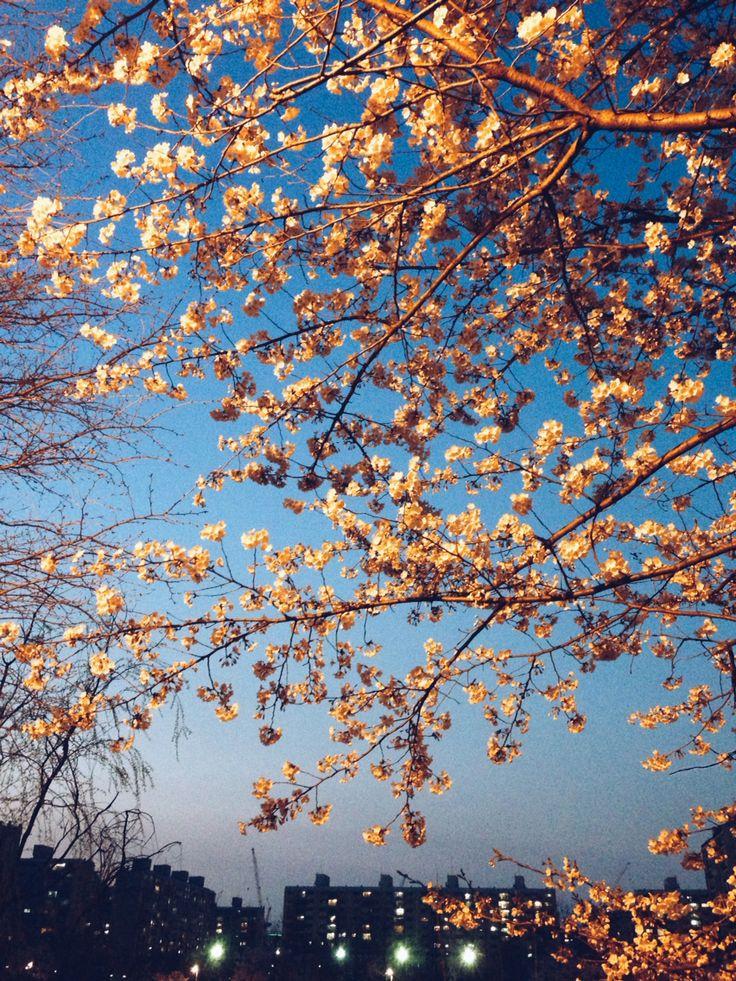 2014년 봄 개포동. 양재천 벚꽃놀이