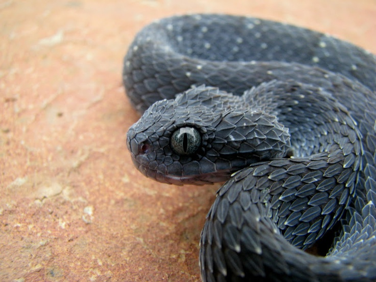 Atheris squamigera   Nature Beauty Science and The Good ...