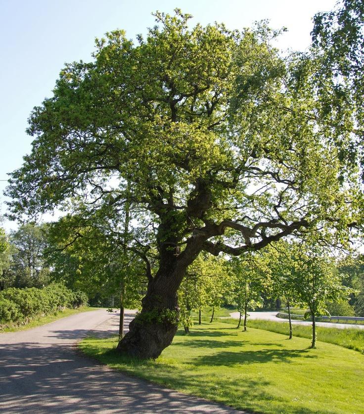 Träd och sommargrönska.   Plats: Boberg, Halland.