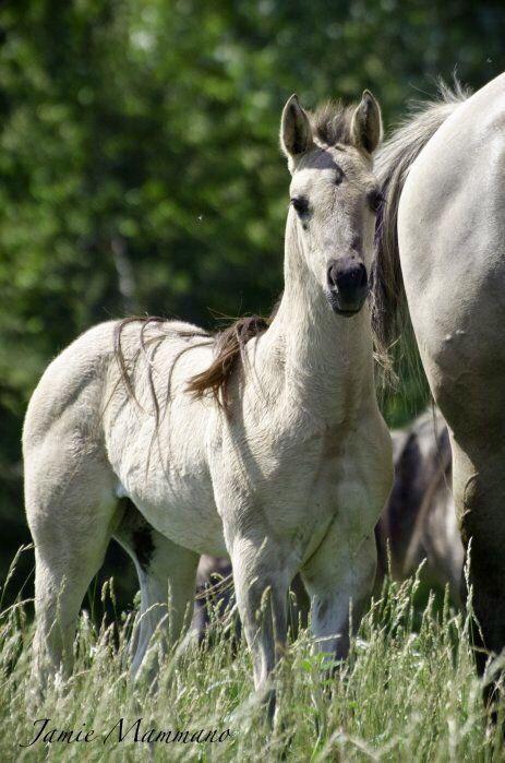 Grulla foal