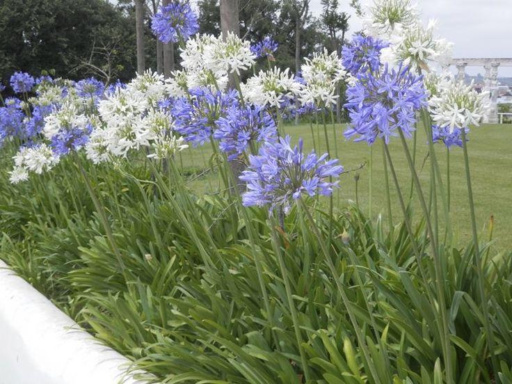 agapanto - fiori bianchi o viola da luglio a settembre - rusticità variabile a seconda della varietà