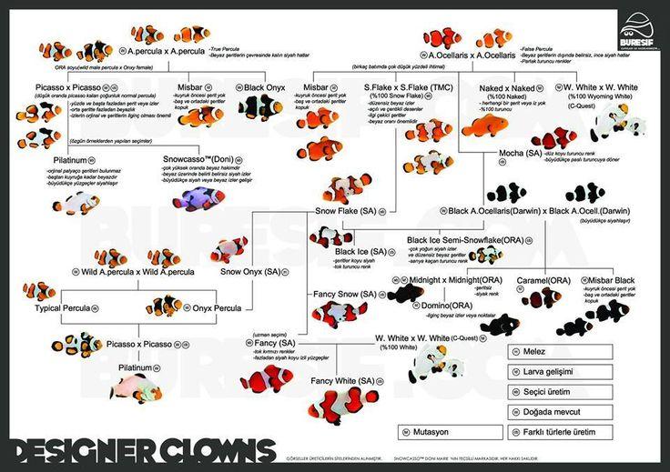 Designer clownfish chart - photo#5