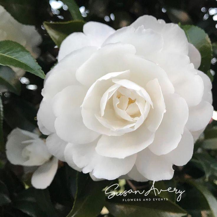 #camellia #love #whitecamellia #perfection #wedding #event #floraldecorators #flowerstylist