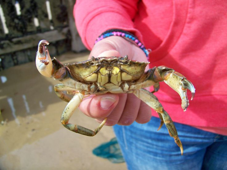 Nipper, the Mundesley monster crab