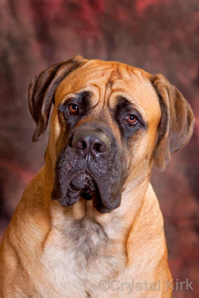 The Giant Ones ~ Old English Mastiffs -story of 2 English Mastiffs in same house- great portrait!