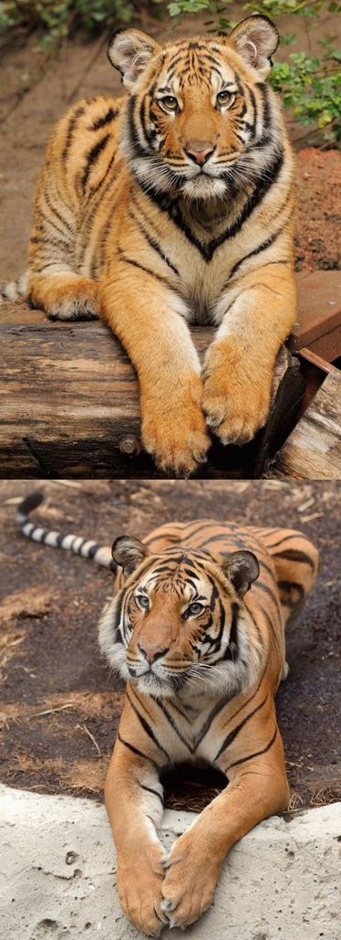 Then & Now: Malayan tiger, Connor. In the wild, only about 1,400 Malayan tigers remain, found on the Malay Peninsula. Photos: Mike Wilson