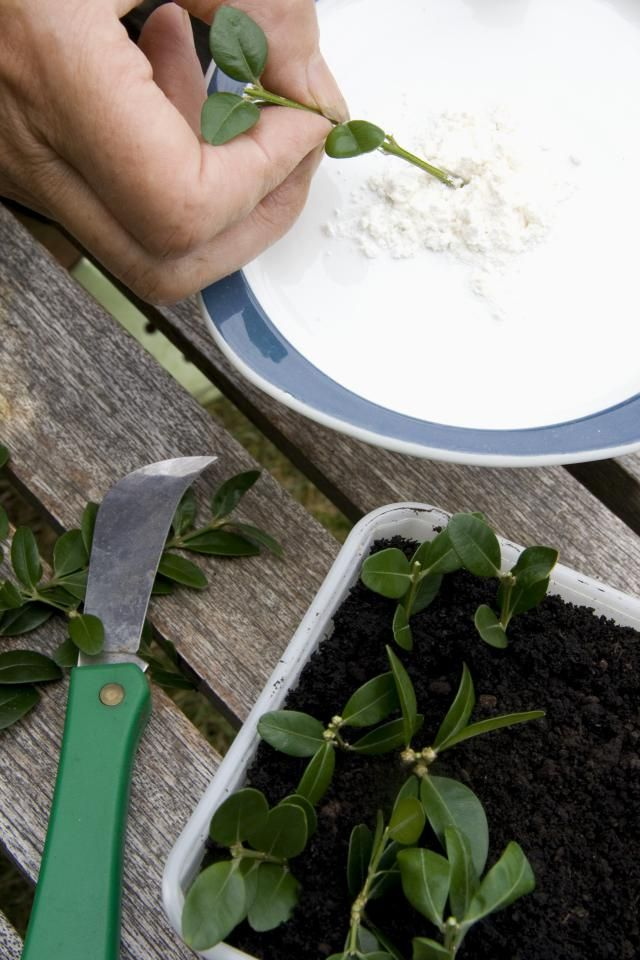 How to propagate plants using powdered rooting hormone.