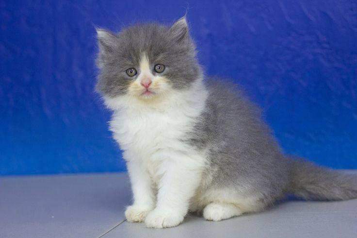 Vance Blue Bicolor Solid Male Ragamuffin Kitten Cute