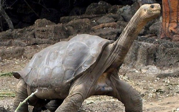 Lonesome George, a giant tortoise from the island of Pinta in the northern regions of the Galapagos Archipelago, was the last known survivor of the Pinta tortoise (Chelonoidis abingdoni).