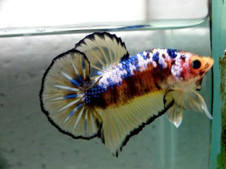 5697 best betta images on pinterest betta betta fish for Giant koi fish