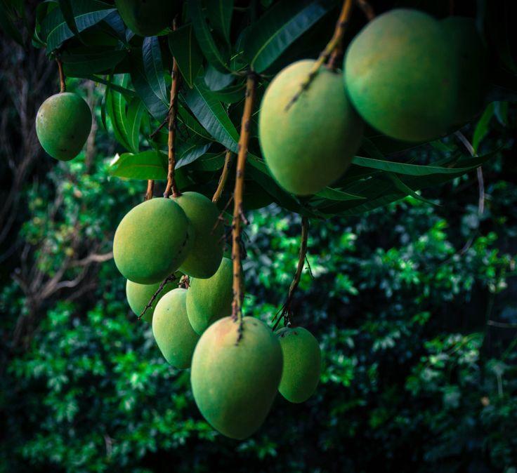 So many mangoes